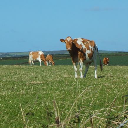 treen cows